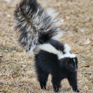 Skunk-On-A-Stroll